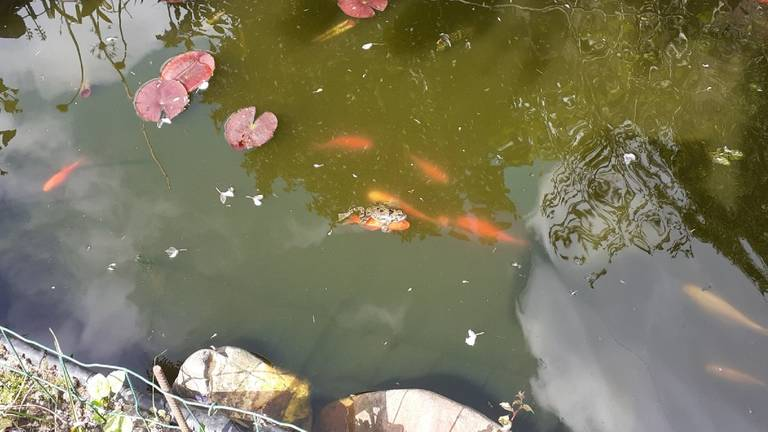 Groene kikker vastgeklemd op goudvis (foto: Geerd en Carla van Hapert).