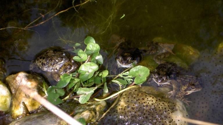 Kikkereitjes van de bruine kikker en de bewakers liggen er parend bij (foto: Adri Klaassen).