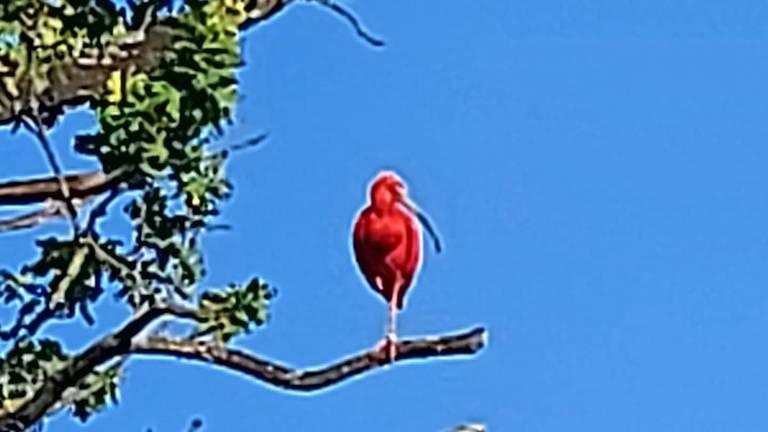 De rode Ibis (Foto: Karin Gielens)