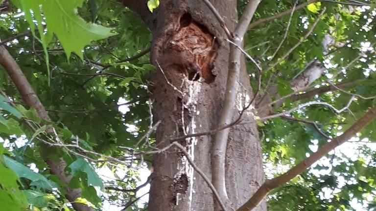 Een spechtengat met uitwerpselen van een spreeuw (foto: Carel Kuijten).