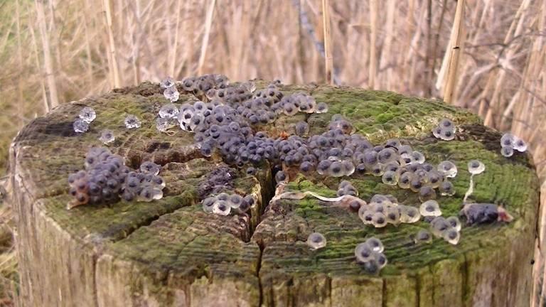 Heel veel bruine kikkereitjes op een paal (foto: Thea Willems).