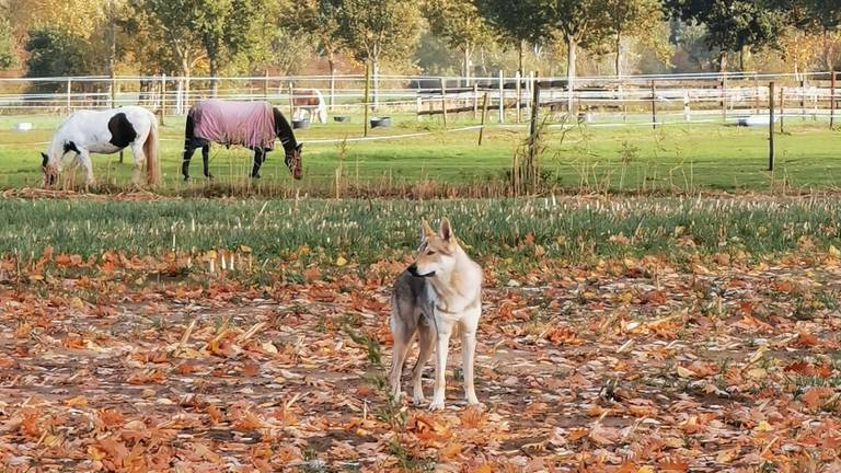 De Saarlooswolfhond die Harm zag (foto: Harm Sanders).