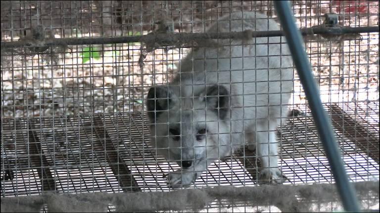 Dierenactivisten vinden illegale vossen in kleine kooien op nertsenfarm