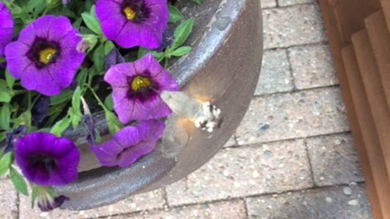 Een kolibrievlinder (foto: Laurens Quinten).