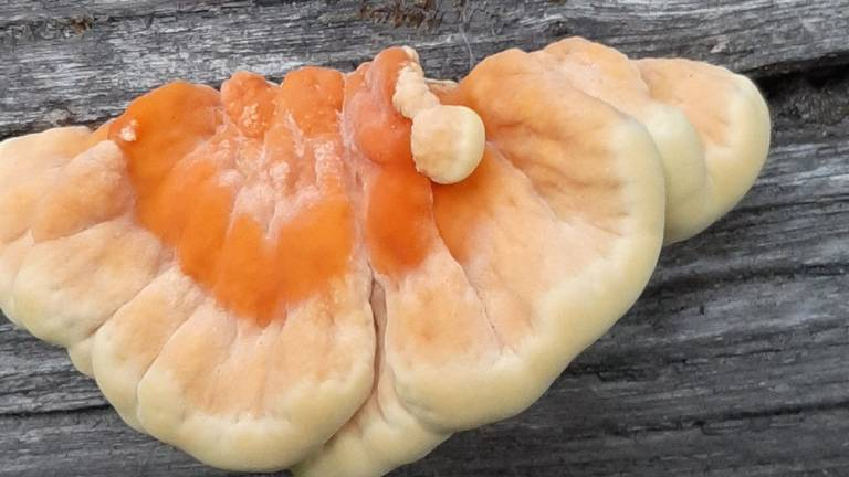 Een zwavelzwam, ook bekend als 'chicken of the woods'(foto: Ien Doorn).