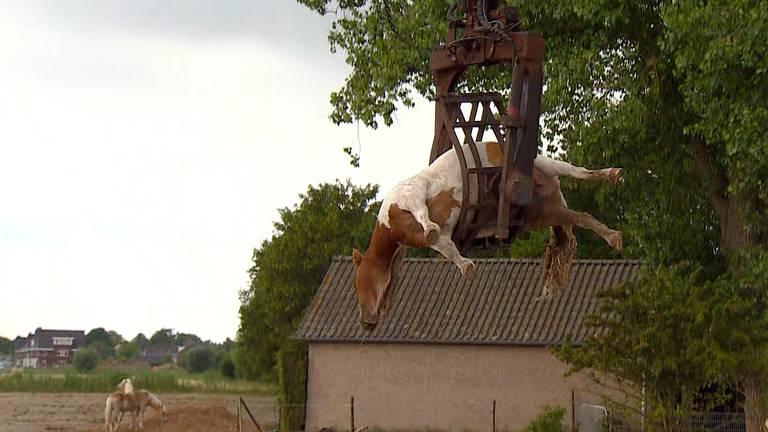 Er lag een dood paard in de wei bij Haarsteeg.