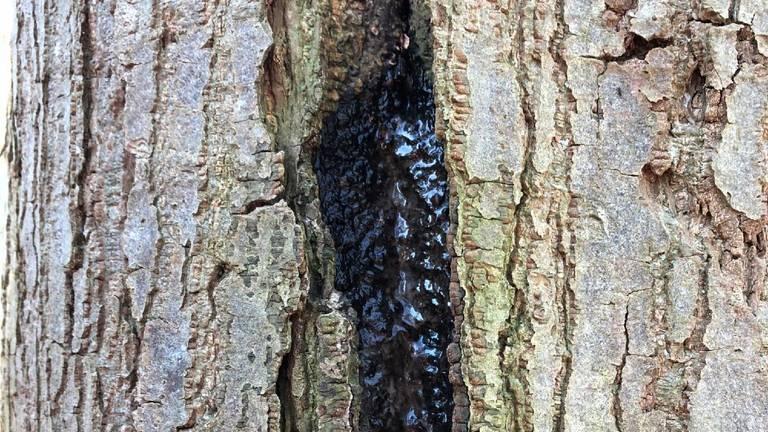 Het 'bloeden' van een naaldboom (foto: Nico van Kempen).