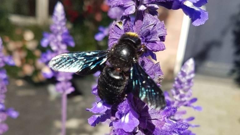 Een zwartblauwe houtbij (foto: Berry Dehaas).