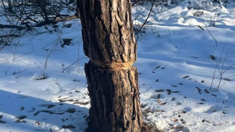 Een geringde grove dennenboom (foto: Natascha van Berkel).