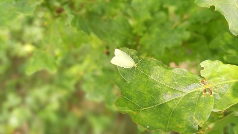 Groene eikenbladroller (foto: Kees der Kinderen).