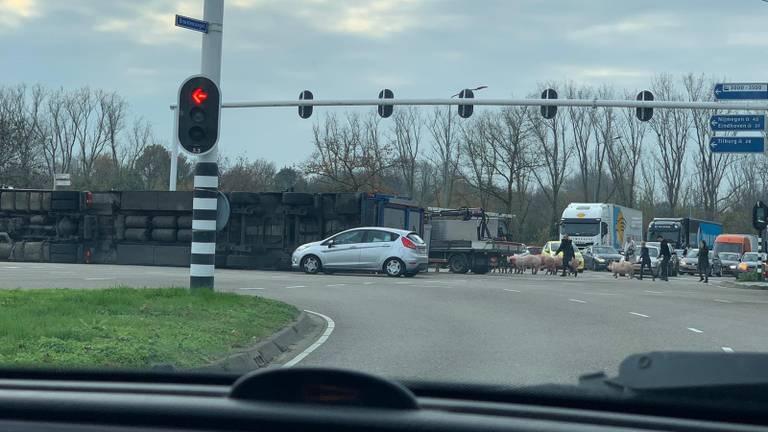 Varkens op de weg