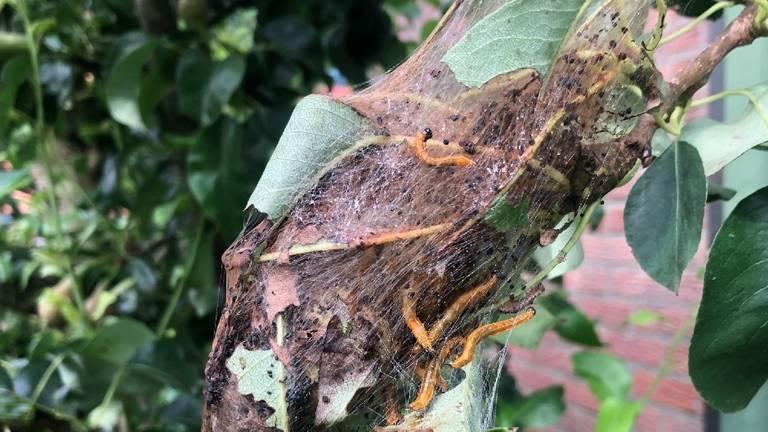 Het spinselnest van de perenspinselbladwesp (foto: Angela Blous).