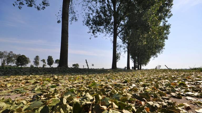Bomen verliezen hun blad bij deze hitte (foto: Ben Saanen).