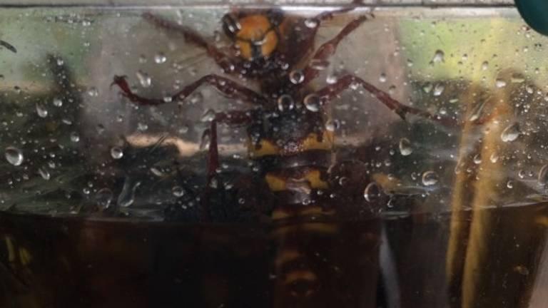 Een Europese hoornaar in een wespenval (foto: Marijke Nooijen).