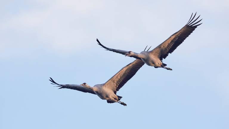 Kraanvogels in de lucht (foto: ANP)