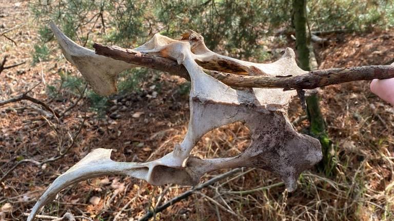 Een heupbot van een ree (foto: Sofie Pas).