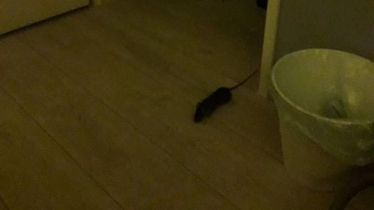Deze rat zag Marlies op haar slaapkamer.