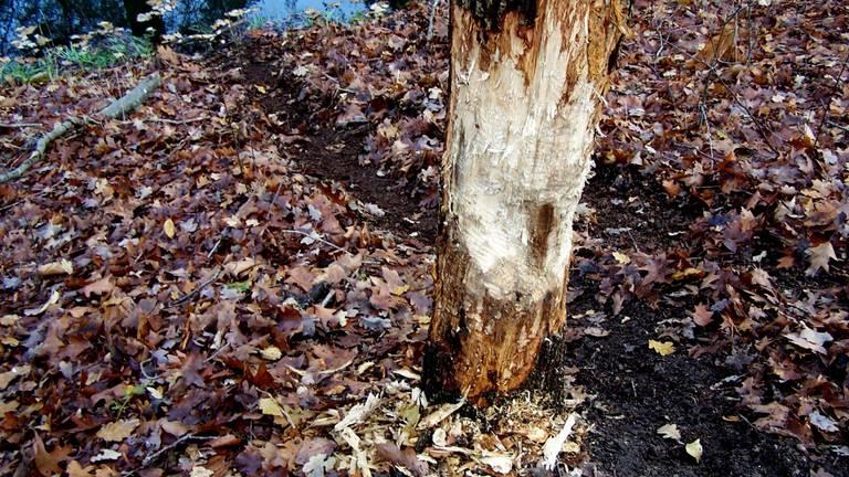 Een aangeknaagde boom (foto: Piet Hendriks).