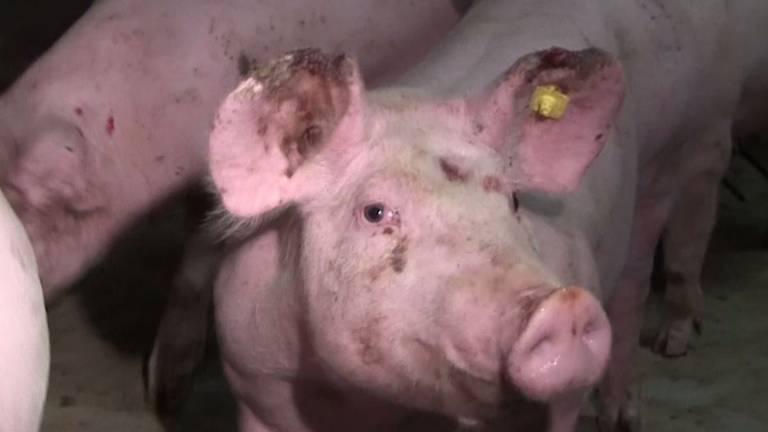 Een van de ziek ogende varkens uit een filmpje van Ongehoord.