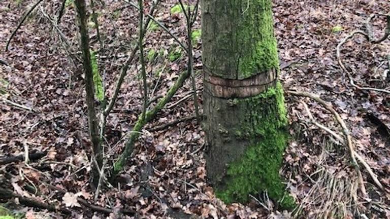 Een geringde boom (foto: Jeanny en Frans Hollander).