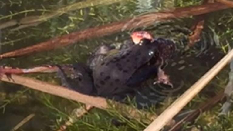 Een bruine kikker (foto: Ineke Gerritsen).