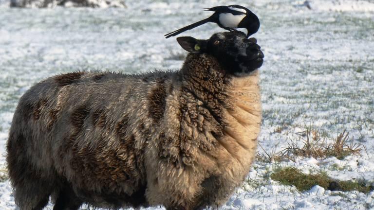 Een ekster op een schaap  (foto: Elsemargriet via Pixabay).