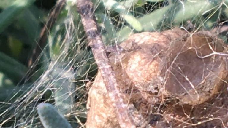 De cocon van een wespspin (foto: Francine Olislagers).