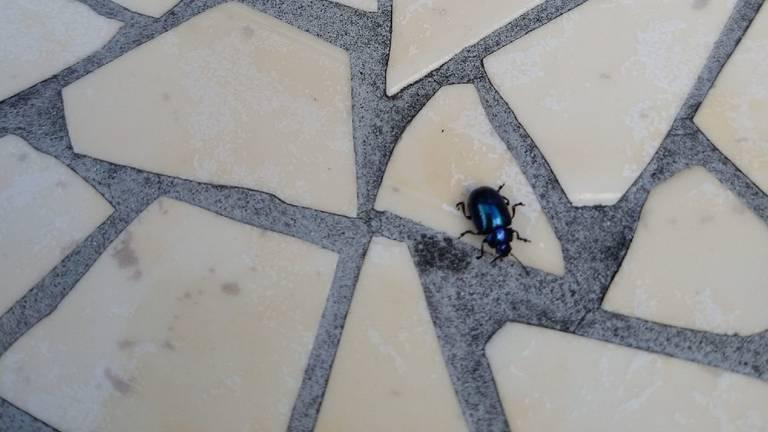 Een blauwe muntgoudhaan (foto: Brigitte Heesbeen).