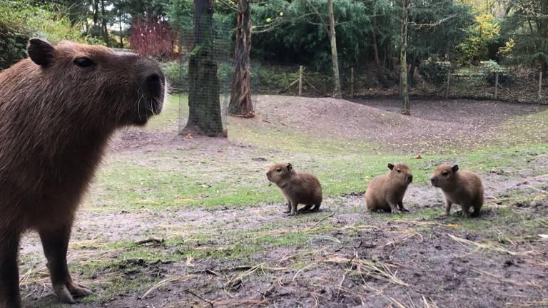 Kleine capibara's bij ZooParc Overloon (foto: ZooParc Overloon).