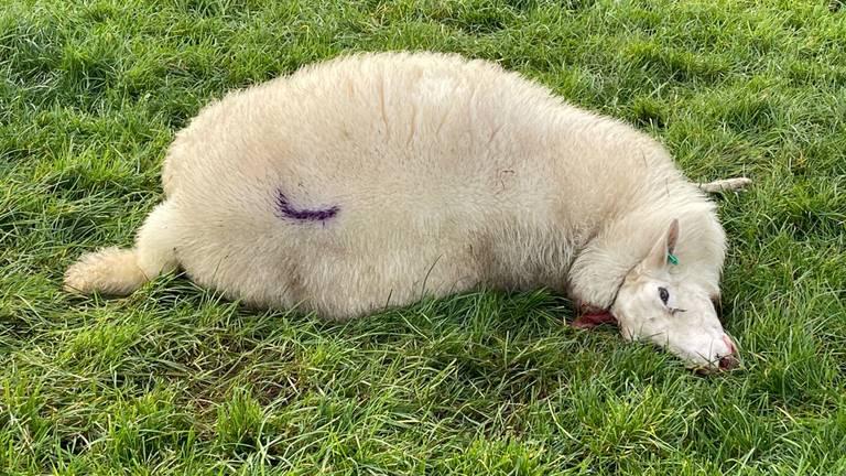 Een dood schaap in Rosmalen (foto: Bart Meesters/Meesters Multi Media/SQ Vision Mediaprodukties).
