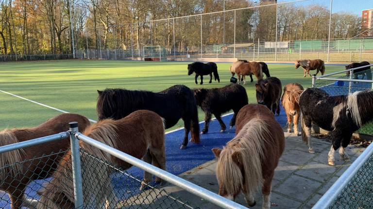 De pony's stonden op een kunstgrasveld (Foto: Hans Meijer).