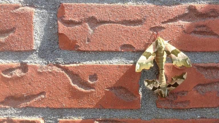 Een parend vrouwtje (boven) en mannetje van de lindepijlstaart (foto: Cor Ros)