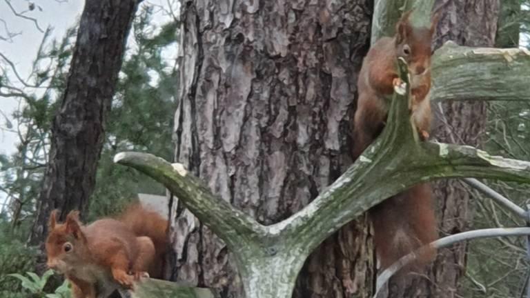 Knagende eekhoorns aan een elanden- en edelhertengewei (foto: Joop van Extel).