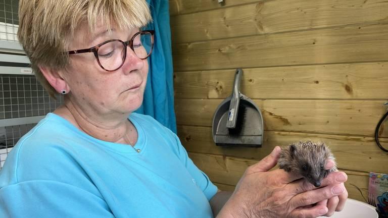 Veel baby-egeltjes komen bij Conny  en Dré terecht, als hun moeder is overleden.