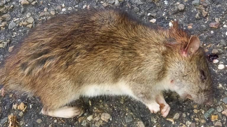 Ratten teisteren straat in Breda: 'Bang dat kinderen worden gebeten'